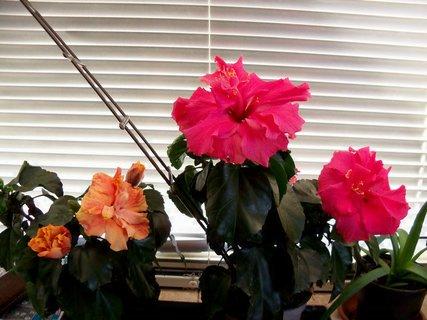 FOTKA - Po venkovním letnění doma krásně kvetou