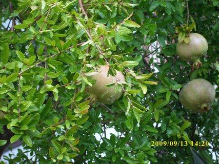 FOTKA - Z dřívějších cest - granátová jablíčka
