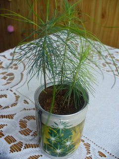 FOTKA - Borovice ze semínek v plechovce