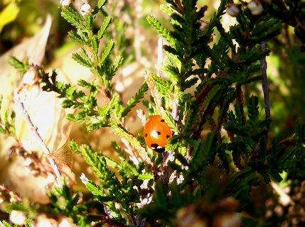 FOTKA - Vyhřívající se beruška v přírodní rezervaci 22.10.