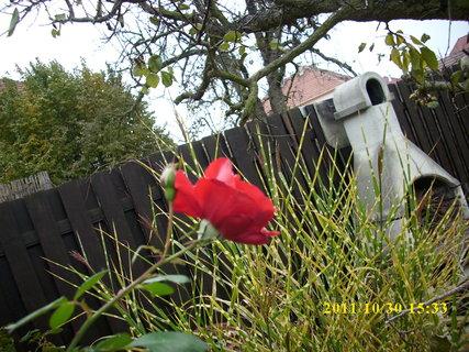 FOTKA - Růže. ..30.října