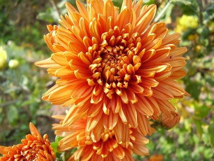 FOTKA - chryzantémy ze zahrady...