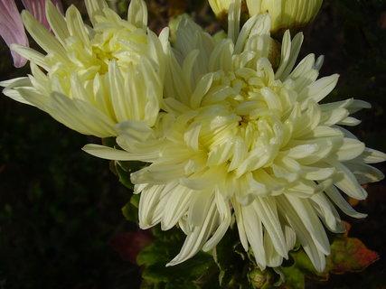 FOTKA - chryzantémy ze zahrady....