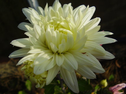 FOTKA - chryzantémy ze zahrady.....