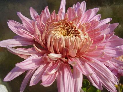 FOTKA - chryzantémy ze zahrady......