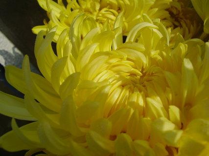 FOTKA - chryzantémy ze zahrady.......