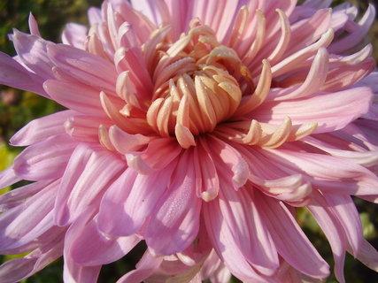 FOTKA - chryzantémy ze zahrady........