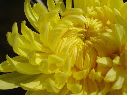 FOTKA - chryzantémy ze zahrady........   .