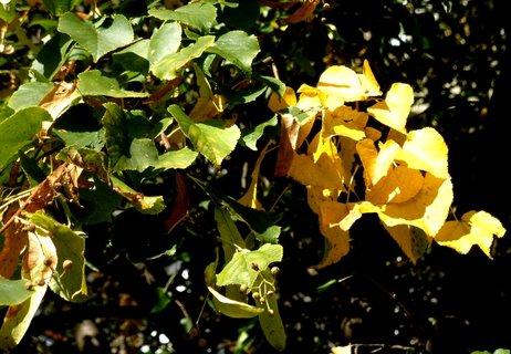 FOTKA - Podzimní lípa