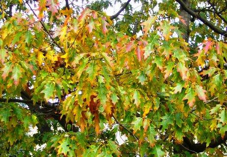 FOTKA -  Dub  se začíná barvit