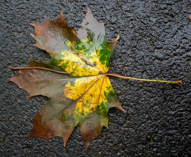 FOTKA - Mokrý javorový list