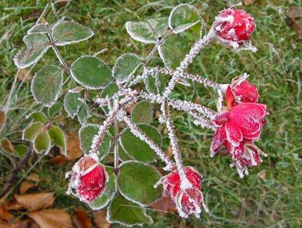 FOTKA - poslední květy růže v listopadu