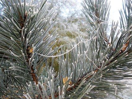 FOTKA - Ojíněná borovice