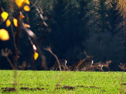 FOTKA - Srnky na pastvě