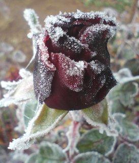 FOTKA - Poupě růže