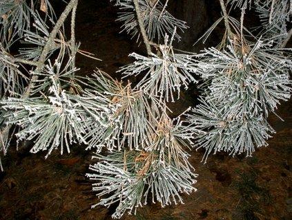 FOTKA - Omrzlá borovice