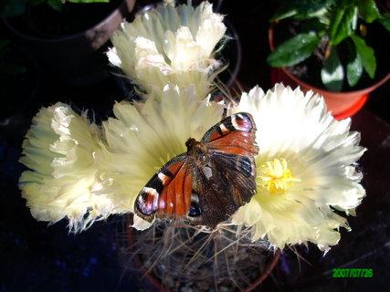 FOTKA - kaktus s motýlkem