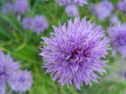 FOTKA - tak krásně a exoticky vypadá květ pažitky