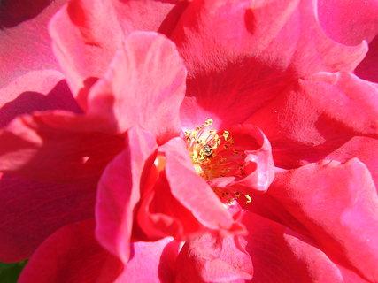 FOTKA - pohled do nitra růže