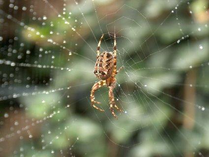 FOTKA - pavouk na pavucince