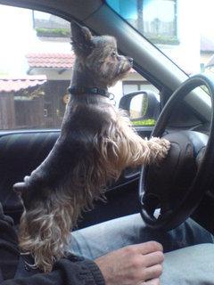 FOTKA - Náš pejsek řidičem