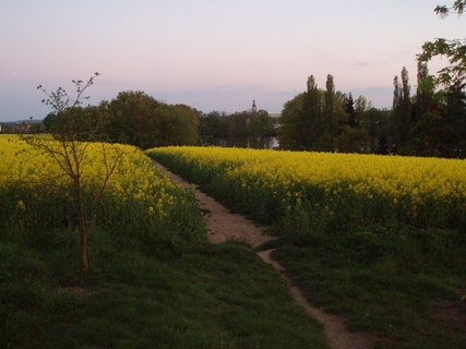 FOTKA - Nový rybník , pole s řepkou