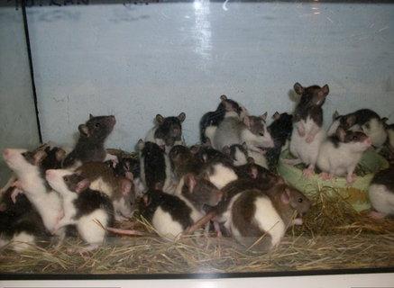 FOTKA - potkánci ve zverimexu