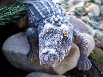 FOTKA - Omrzl� krokod�l v zahr�dce