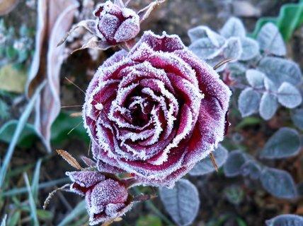 FOTKA - Mini růže s přimrzlým pavoučkem
