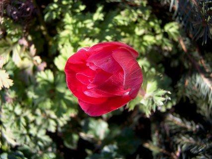 FOTKA - Sasanky kvetou i pod chvojím