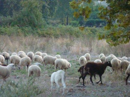 FOTKA - Stádo ovcí u pobřeží