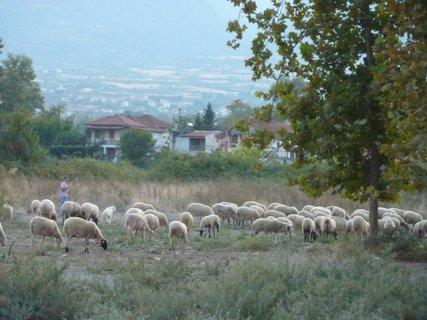 FOTKA - Stádo ovcí s pasáčkem