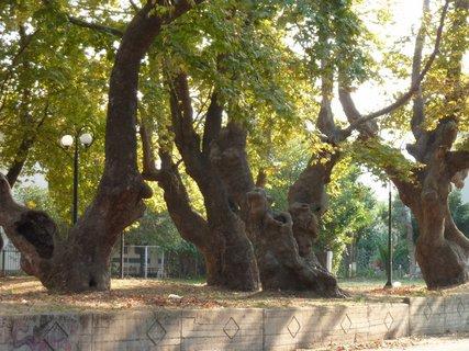 FOTKA - Mohutné stromy v Leptokarii