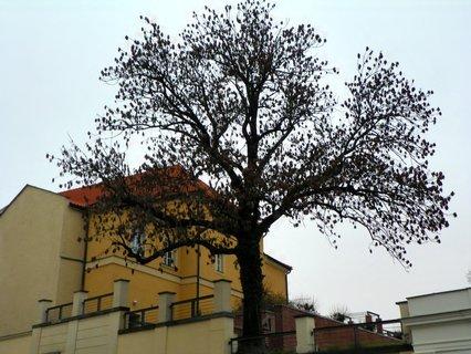 FOTKA - Krásně rostlý strom u Klicperova divadla