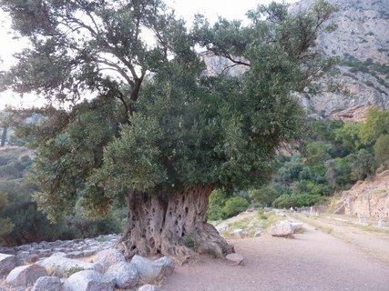 FOTKA - Starý olivovník v Delfách
