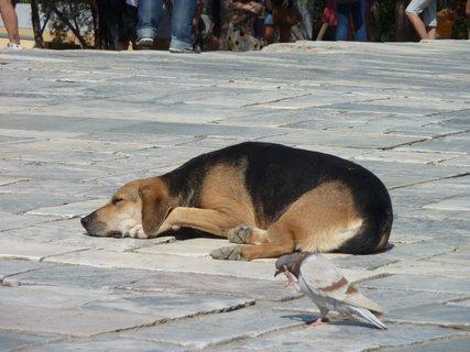 FOTKA - Aténský pes a holub