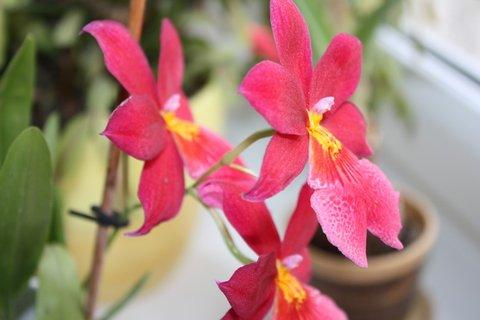 FOTKA - Orchidej, která krásně voní