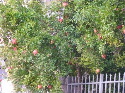 FOTKA - Strom s granátovými jablky