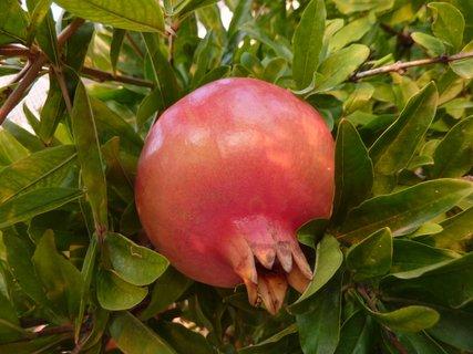FOTKA - Granátové jablko