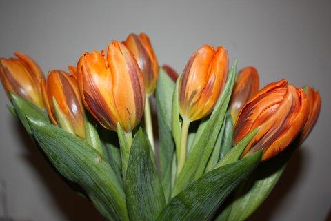 FOTKA - Tulipány XXXV.