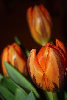 FOTKA - Tulipány XXXVII.