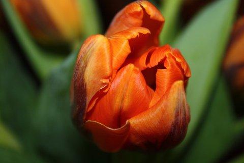 FOTKA - Tulipány XXXVIII.
