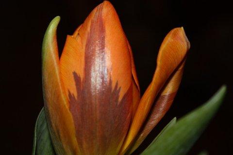FOTKA - Tulipány XXXIX.