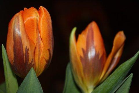 FOTKA - Tulipány XXXX.