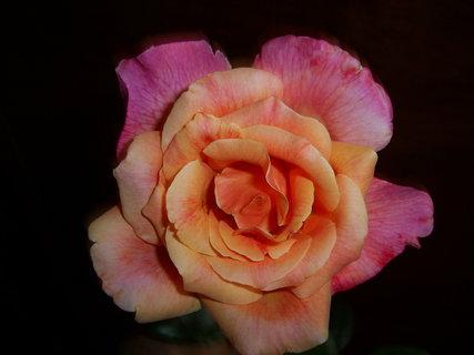 FOTKA - krásná růže
