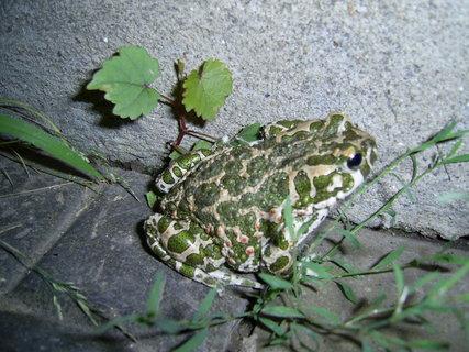 FOTKA - žába