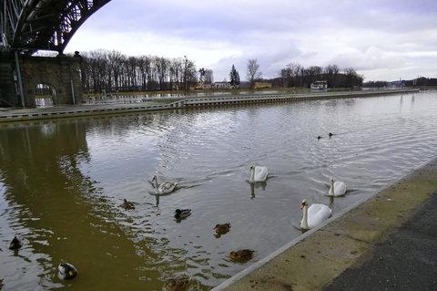 FOTKA - Vodní ptáci ve městě