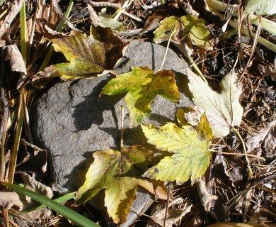 FOTKA - Javorové listí na zahrádce