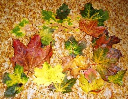 FOTKA - Javorové listí na koberci