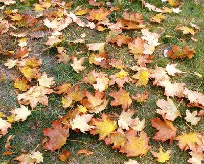 FOTKA - Javorové listí padá